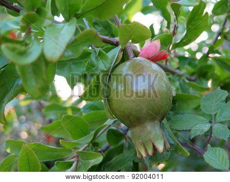 Pommegranade Fruit