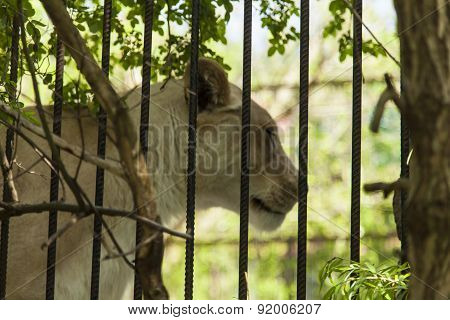 Wild Cat In A Cage