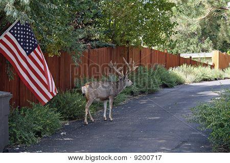 Buck walking up a driveway