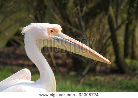 Pelican Bird.