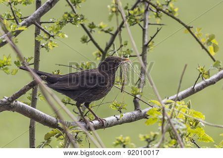 Blackbird In Hawthorn Carrying Nesting Material