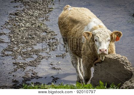 Cow In River Scratching Neck