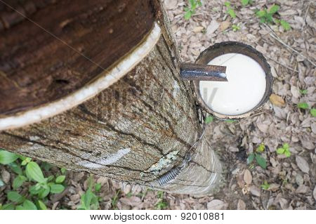 Milky Latex Rubber Tree In Bowl