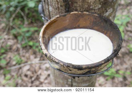 Milky Latex Rubber Tree In Bowl