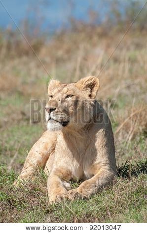 Lioness Resting On Hill Inside Ngorongoro Crater