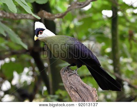 White-crested Turaco (tauraco Leucolophus)
