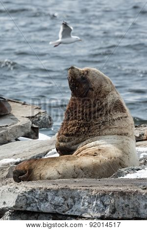 Rookery Northern Sea Lion Or Steller Sea Lion. Kamchatka, Avachinskaya Bay
