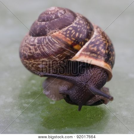Small Snail On The Glass Table