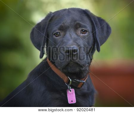 Black Lab Male Puppy