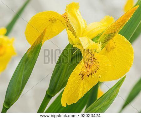 Flower of yellow iris.
