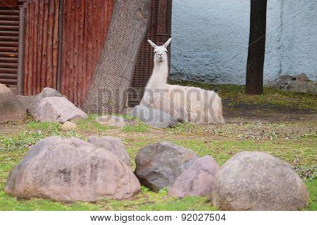 The image of llama