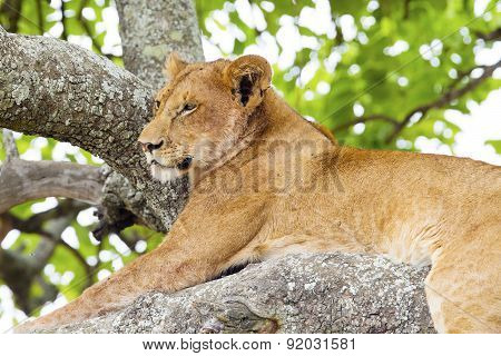 Young lion rests in tree