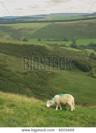 An English Sheep Grazing In The Valley, Peak District National Park, Manchester, England