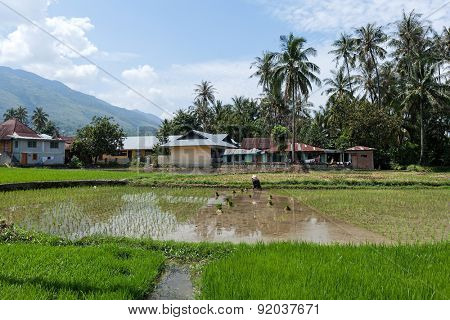 SUMATRA, INDONESIA - FEBRUARY 10, 2012: An unidentified farmer plants rice stalks onto a flooded paddy field in a village in Indonesia. Rice is a staple food in many parts of Asia including Indonesia.