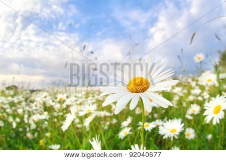 Chamomile Flower On Summer Meadow