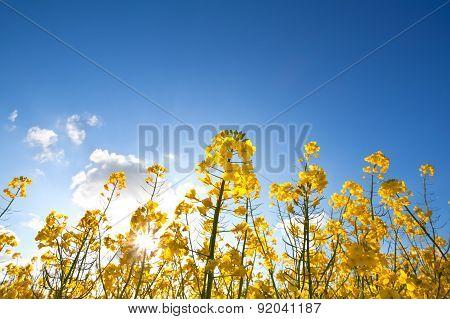 Rapeseed Oil Flowers Over Blue Sky