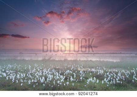 Misty Sunrise Over Swamp With Cottongrass
