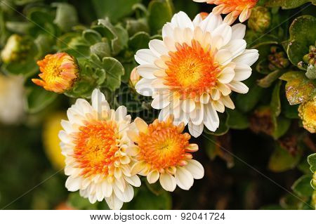 Chrysanthemum flowers in the garden.