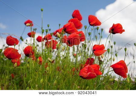 poppy seed flowering