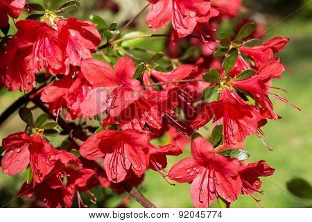 Red azalea in a full bloom after rain.