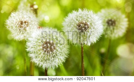 Dandelions. Summer Background.
