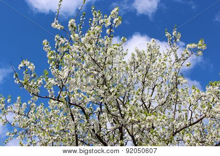 Blossoming Tree Of Plum On Background Of The Blue Sky