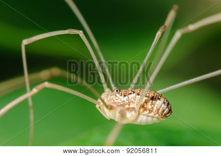 Harvestman Daddy Long Leg Arachnid