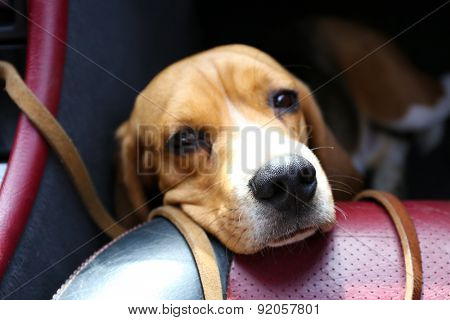 Funny cute dog in car close up