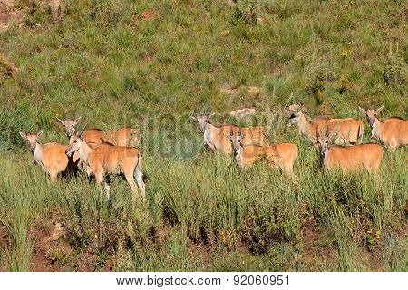 Herd of eland antelopes (Tragelaphus oryx) in natural habitat, South Africa