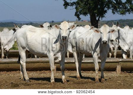 Cow And Ox