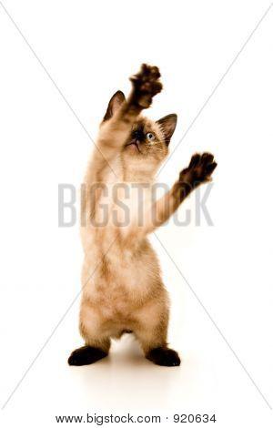 Ataque de gatinho
