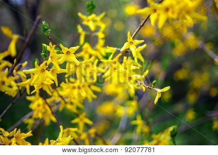 Forsythia branches