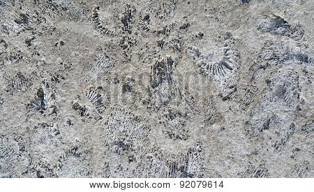 Ammonite Fossils On A Rock