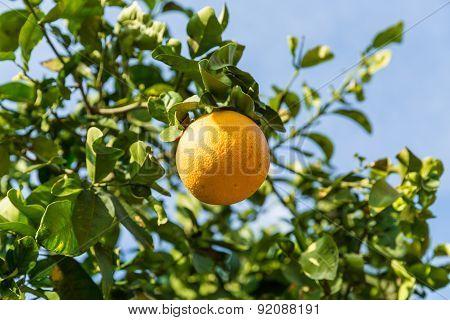 Orange Tree with the ripe oranges