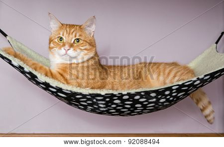 Red Cat Lying In A Hammock