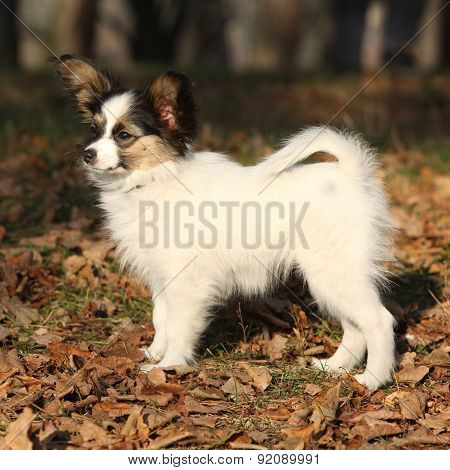Amazing Paillon Puppy In Autumn