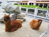 stock photo of lamas  - Lamas in a zoo lie and sadly look at visitors - JPG