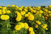 pic of marigold  - Marigold fields beautiful with blue sky background - JPG