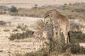 stock photo of grassland  - Masai Giraffe  - JPG