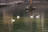 picture of webbed feet white  - White ducks swimming in green sparkling water. ** Note: Soft Focus at 100%, best at smaller sizes - JPG