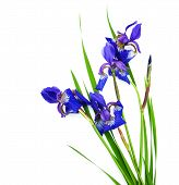 stock photo of purple iris  - Iris flowers isolated on a white background - JPG
