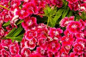 image of carnation  - background from the white wild growing carnation - JPG