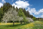 stock photo of row trees  - Blooming apple trees in a diagonal row of fruit trees amidst a blossoming spring meadow in rural landscape - JPG