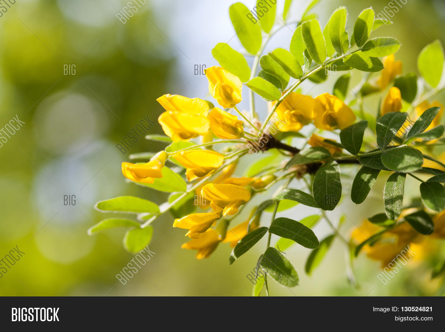 Acacia Tree Branch With Green Leaves And Yellow Flowers Blooming Caragana Arborescens Siberian Peashrub