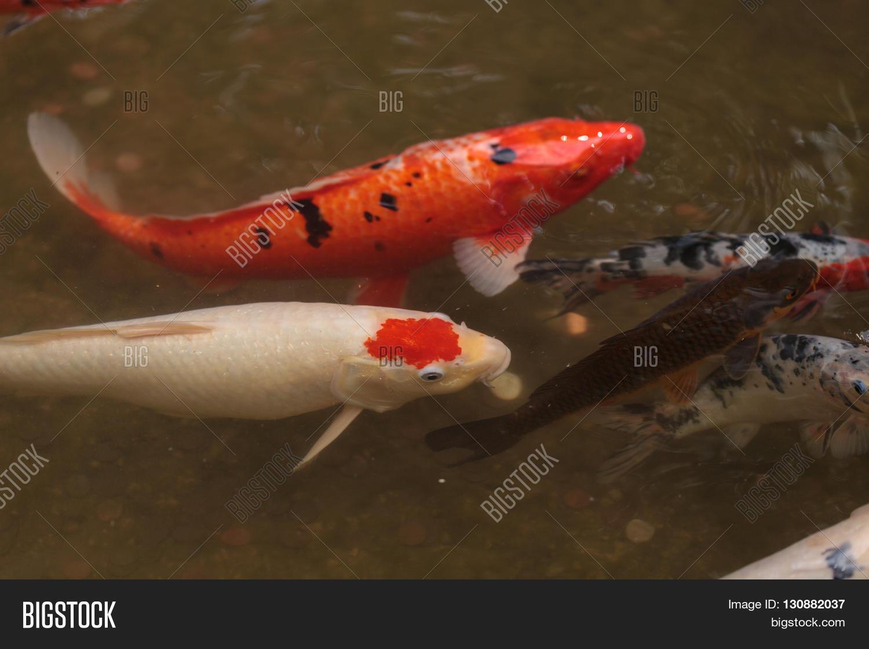 Koi fish cyprinus carpio image photo bigstock for What do koi fish eat