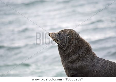 this is a close up of a new zealand fur seal
