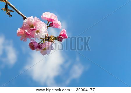 Closeup of dainty pink spring blossom on a young Prinus serrulata or Japanese flowering cherry sapling against a cloudy blue sky