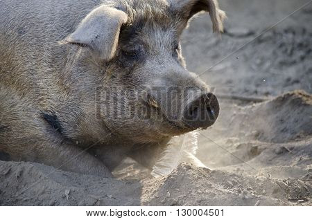 this is a close up of a large pig