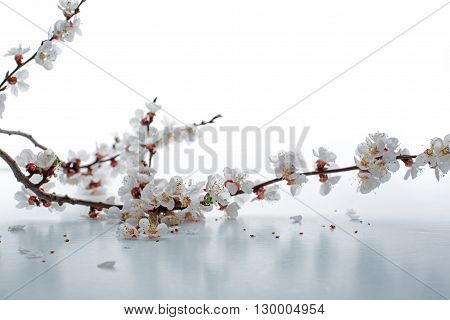 Beautiful Apricot Blossom Isolated On White