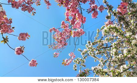 Beautiful flowers of spring trees on blue sky background